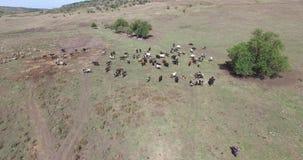 Αγελάδες ενός γαλακτοκομείου που βόσκει στους τομείς ενός αγροκτήματος απόθεμα βίντεο