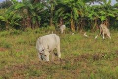 Αγελάδες, εύφορη κοιλάδα kawatuna με τα προμηθεύοντας με ζωοτροφές ζώα στοκ φωτογραφία