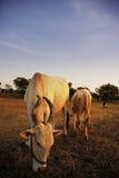 αγελάδες ιερές Στοκ Φωτογραφία