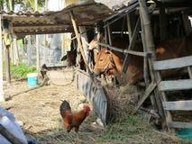 Αγελάδες και κοτόπουλο σε λίγη σιταποθήκη στην επαρχία στο Βιετνάμ Στοκ Φωτογραφία