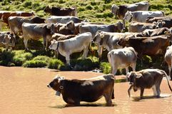 Αγελάδες και λίμνη δολομιτών Στοκ φωτογραφία με δικαίωμα ελεύθερης χρήσης