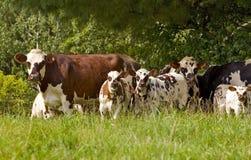 Αγελάδες και μόσχοι Στοκ Εικόνες