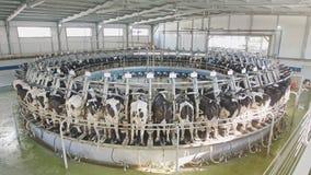 Αγελάδες κατά τη διάρκεια του αρμέγματος σε μια περιστροφική αρμέγοντας αίθουσα σε ένα μεγάλο γαλακτοκομικό αγρόκτημα φιλμ μικρού μήκους