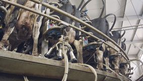 Αγελάδες κατά τη διάρκεια του αρμέγματος σε μια περιστροφική αρμέγοντας αίθουσα σε ένα μεγάλο γαλακτοκομικό αγρόκτημα απόθεμα βίντεο