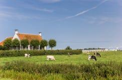 Αγελάδες μπροστά από ένα παλαιό σπίτι στο Γκρόνινγκεν Στοκ Εικόνες