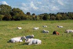 αγελάδες Νορμανδός Στοκ Φωτογραφία