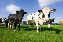 αγελάδες ολλανδικά Στοκ Φωτογραφία
