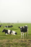 αγελάδες ολλανδικά Στοκ Εικόνα