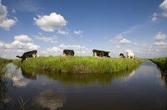 αγελάδες ολλανδικά Στοκ φωτογραφίες με δικαίωμα ελεύθερης χρήσης