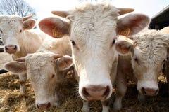 αγελάδες περίεργες Στοκ Εικόνες