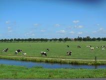 Αγελάδες που βόσκουν από το κανάλι Στοκ Εικόνα