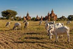 Αγελάδες που βόσκουν μεταξύ των ναών Bagan στο Μιανμάρ Στοκ φωτογραφία με δικαίωμα ελεύθερης χρήσης