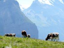 Αγελάδες που βόσκουν σε έναν πράσινο λόφο στοκ εικόνες