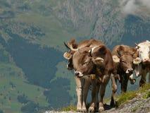 Αγελάδες που βόσκουν σε έναν πράσινο λόφο στοκ εικόνα