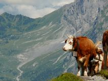 Αγελάδες που βόσκουν σε έναν πράσινο λόφο στοκ εικόνα με δικαίωμα ελεύθερης χρήσης
