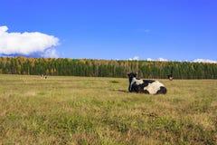 Αγελάδες που βόσκουν σε ένα λιβάδι Στοκ Εικόνα