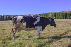 Αγελάδες που βόσκουν σε ένα λιβάδι Στοκ εικόνες με δικαίωμα ελεύθερης χρήσης