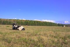 Αγελάδες που βόσκουν σε ένα λιβάδι Στοκ εικόνα με δικαίωμα ελεύθερης χρήσης