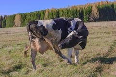 Αγελάδες που βόσκουν σε ένα λιβάδι Στοκ Φωτογραφίες