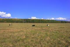 Αγελάδες που βόσκουν σε ένα λιβάδι Στοκ φωτογραφίες με δικαίωμα ελεύθερης χρήσης