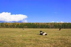 Αγελάδες που βόσκουν σε ένα λιβάδι Στοκ Εικόνες