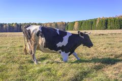 Αγελάδες που βόσκουν σε ένα λιβάδι Στοκ φωτογραφία με δικαίωμα ελεύθερης χρήσης
