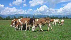 Αγελάδες που βόσκουν σε ένα πράσινο πολύβλαστο λιβάδι απόθεμα βίντεο