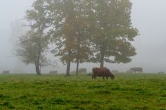 Αγελάδες που βόσκουν στον πράσινο τομέα στοκ εικόνες με δικαίωμα ελεύθερης χρήσης