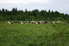 αγελάδες που βόσκουν το πράσινο καλοκαίρι λιβαδιών Στοκ Εικόνες