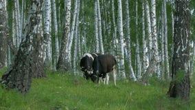 αγελάδες που βόσκουν το πράσινο λιβάδι Αγελάδα στη δασική αγελάδα στο δάσος που τρώει τη χλόη Στοκ φωτογραφίες με δικαίωμα ελεύθερης χρήσης