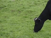 αγελάδες που βόσκουν το πράσινο λιβάδι Στοκ Εικόνες