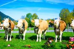 Αγελάδες που διακοσμούνται για το Aelplerfest Στοκ εικόνα με δικαίωμα ελεύθερης χρήσης