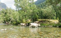 Αγελάδες που διασχίζουν έναν ποταμό Pla de Boavi  στην επαρχία Lleida, στα καταλανικά Πυρηναία Καταλωνία, Ισπανία, Ευρώπη στοκ φωτογραφία