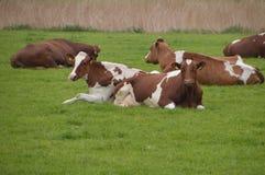 Αγελάδες που κάθονται στη χλόη Στοκ εικόνα με δικαίωμα ελεύθερης χρήσης