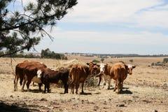 Αγελάδες που μαζεύονται στο δοχείο τροφών Στοκ φωτογραφίες με δικαίωμα ελεύθερης χρήσης