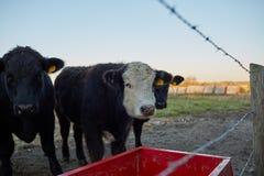 Αγελάδες που περιμένουν υπομονετικά παράλληλα με μια γούρνα μετάλλων στοκ φωτογραφίες
