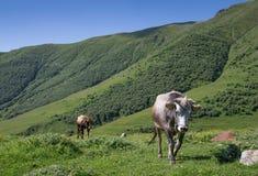 Αγελάδες που περπατούν σε έναν πράσινο τομέα Στοκ Εικόνες
