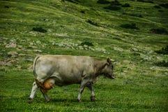 Αγελάδες που περπατούν στα λιβάδια βουνών στοκ εικόνα