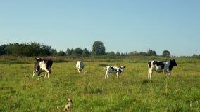Αγελάδες που περπατούν στον τομέα στο γαλακτοκομικό αγρόκτημα Γαλακτοκομική καλλιέργεια Άρμεγμα της αγελάδας στο ζωικό κεφάλαιο απόθεμα βίντεο