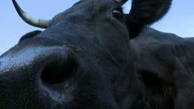 Αγελάδες που προέρχονται από τη μάντρα στην άποψη λιβαδιού απόθεμα βίντεο