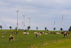 αγελάδες που ταΐζονται τη χλόη τον οργανικό αέρα ισχύος Στοκ Εικόνες