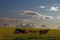 Αγελάδες σε έναν τομέα φθινοπώρου Στοκ Εικόνες