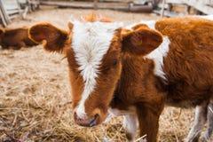 Αγελάδες σε ένα αγρόκτημα Γαλακτοκομικές αγελάδες Στοκ Εικόνες