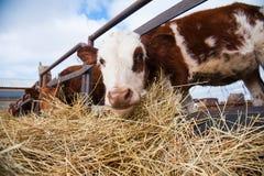Αγελάδες σε ένα αγρόκτημα Γαλακτοκομικές αγελάδες Στοκ Φωτογραφίες