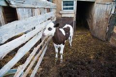 Αγελάδες σε ένα αγρόκτημα Γαλακτοκομικές αγελάδες Στοκ εικόνα με δικαίωμα ελεύθερης χρήσης