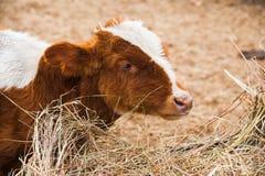 Αγελάδες σε ένα αγρόκτημα Γαλακτοκομικές αγελάδες Στοκ φωτογραφίες με δικαίωμα ελεύθερης χρήσης