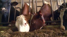 Αγελάδες σε ένα γαλακτοκομικό αγρόκτημα απόθεμα βίντεο