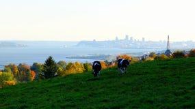 Αγελάδες σε ένα λιβάδι με στο υπόβαθρο, πόλη Québec στοκ φωτογραφία