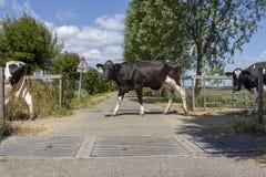Αγελάδες σε μια σειρά που περνά τα πλέγματα βοοειδών στοκ φωτογραφία