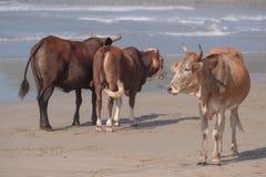 Αγελάδες στην παραλία στο λιμένα ST Johns στην άγρια ακτή, Νότια Αφρική Στο υπόβαθρο, τα παιδιά λούζουν στη θάλασσα στοκ εικόνα με δικαίωμα ελεύθερης χρήσης